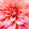 ナポレオン妃 ジョセフィーヌが最も愛した花、ダリア